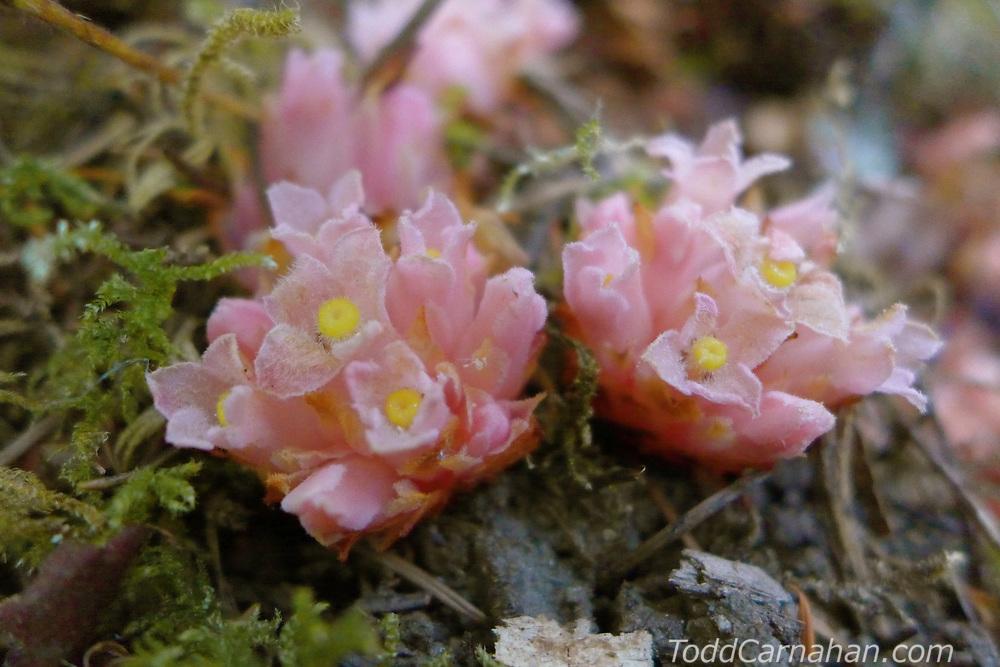 gnome plant hemitomes congestum