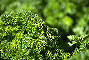 Close up selective focus photograph of Curly Parsley Plants