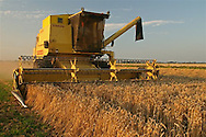 Grain harvest - wheat - in Sexbierum, the North West part of Friesland (North of the Netherlands).<br /> Graanoogst - tarwe - in Sexbierum, in noordwest Friesland (de Bjirmen).
