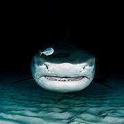 Tiger shark (Galeocerdo cuvier) with fish in front of nose. Bahamas