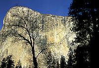 Black Oak silhouetted in front of El Capitan in Yosemite National Park, CA<br />