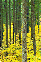 Yellow leaved autumn Vine Maple (Acer circinatum) understory in a Douglas Fir (Pseudotsuga menziesii) forest, Gifford Pinchot National Forest, WA, USA.