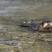 River otter (Lontra canadensis) swimming. Montana, Captive Animal