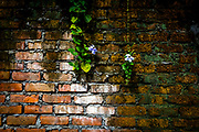 Old brick wall with dark mold on one side and bright red brick on the other and orchids hanging down.