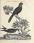 Glareola (Australian pratincole), Galaucopis (Insect) and Gnaphalium (cudweeds). Copperplate engraving From the Encyclopaedia Londinensis or, Universal dictionary of arts, sciences, and literature; Volume VIII;  Edited by Wilkes, John. Published in London in 1810.