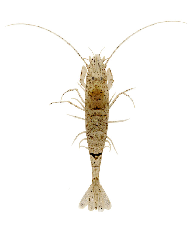 Common Shrimp - Crangon crangon