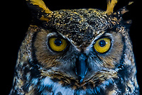Great horned owl, Nature's Educators, which cares for non releasable birds of prey, Sedalia, Colorado USA.