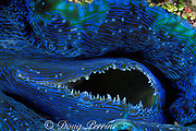siphon opening of giant clam, tridacna sp., Hick's Reef, Ribbon Reefs, Great Barrier Reef, Australia ( Western Pacific Ocean )