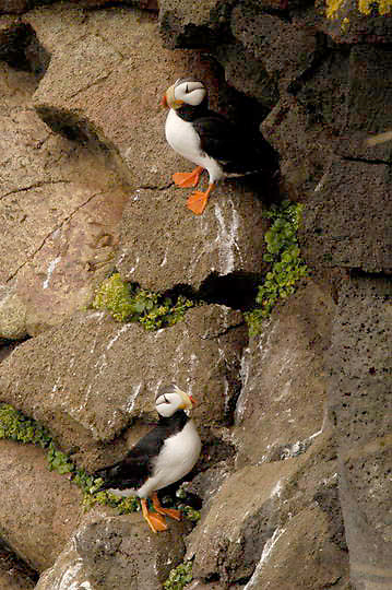 Horned Puffin (Fratercula corniculata) Pair in breeding plumage resting on rocky cliff. St. Paul, Pribilof Islands. Alaska.