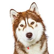 20141105 W Siberian Huskies
