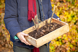Lifting dahlias tubers and putting in tray ready for storing over winter in a greenhouse