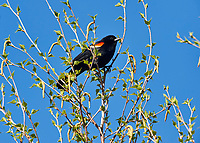 Red-winged Blackbird (Agelaius phoeniceus) perched in a tree, Annapolis Royal Marsh, French Basin trail, Annapolis Royal, Nova Scotia, Canada,