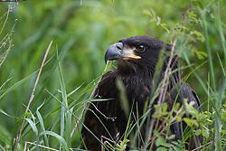 Juvenile Bald Eagle, Swan Valley, Idaho