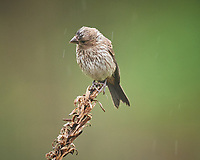 Juvenile Brown-headed Cowbird in the rain. Image taken with a Nikon D5 camera and 600 mm f/4 VR telephoto lens (ISO 1600, 600 mm, f/5.6, 1/250 sec).