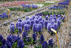 The hyacinth trial fields at Floratuin Julianadorp