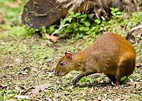 Central American Agouti, Dasyprocta punctata, Monteverde, Costa Rica