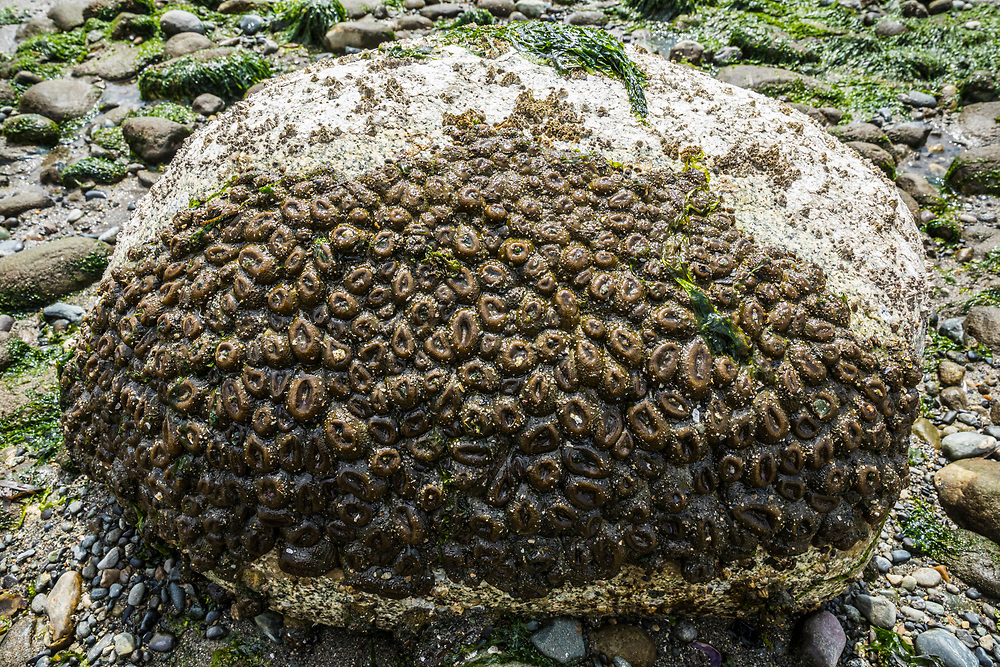 Sea anemones at Mutiny Bay, Whidbey Island, Washington, USA.