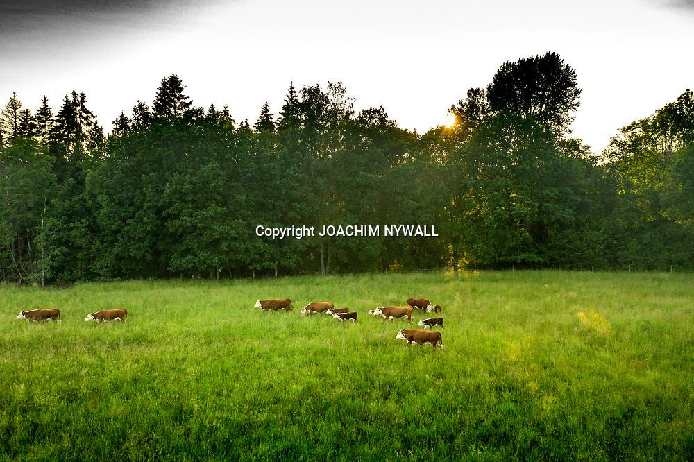 2020 06 22 Trollhättan<br /> Vy bild över kohage i Åkerström <br /> Drönare<br /> <br /> <br /> FOTO JOACHIM NYWALL KOD0708840825<br /> COPYRIGHT JOACHIMNYWALL:SE<br /> <br /> ****BETALBILD****<br />  <br /> Redovisas till: Joachim Nywall<br /> Strandgatan 30<br /> 461 31 Trollhättan<br />  Prislista: BLF, om ej annat avtalats