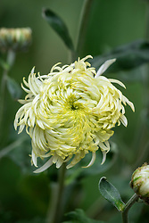Chrysanthemum 'Sfera White'