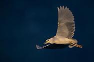 Night heron, Nycticorax nycticorax, Bi Tan Bay, Taiwan