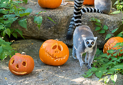 © Licensed to London News Pictures;13/10/2021; Ring tailed lemurs play with Halloween pumpkins and filled with popcorn and meal worms at Bristol Zoo, in the run up to Halloween at the end of October. Photo credit: Simon Chapman/LNP.