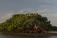 Pelicans roost in a mangrove in Everglades National Park