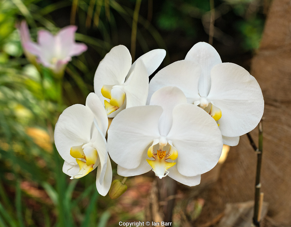 White Orchids in the garden