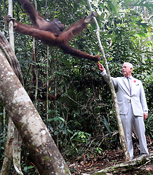 The Prince of Wales feeding an orangutan during a visit to the Sarawak Semenggoh Wildlife Rehabilitation Centre in Kuching, Malaysia.