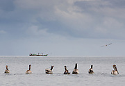 A group of pelicans in the Golfo de San Miguel, Panama, watch longingly as a fishing boat retrieves it's catch.