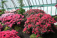 Rhododendrons in the Royal Belgian Greenhouses.