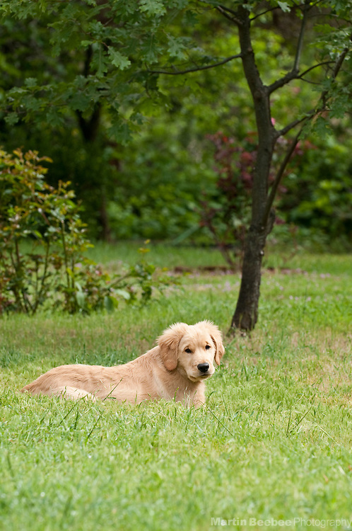A three-month-old golden retriever puppy lies in the grass