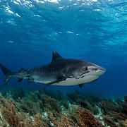 Tiger shark (Galeocerdo cuvier) in The Bahamas.