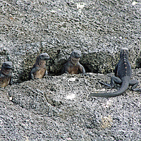 South America, Ecuador, Galapagos Islands. Juvenile Marine Iguanas on Fernandina Island.