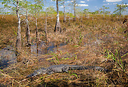 Alligator with cypress trees in Everglades