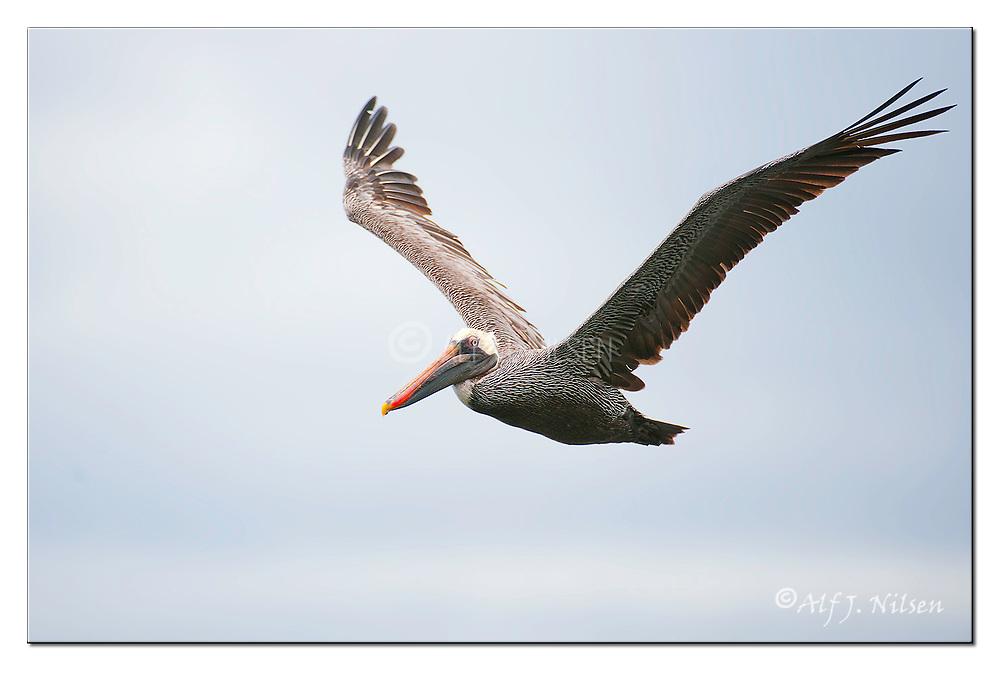 Brown Pelican at Santiago Island, Galapagos. Nikon D700, 200-400mm f4.5, EV+1, 1/1600sec, ISO640, aperture priority.