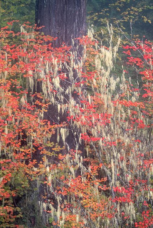 Douglas-fir, vine maple and lichens, autumn, Mount Rainier National Park, Washington, USA
