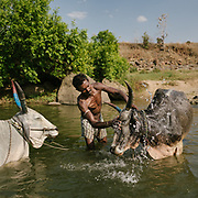 A man washed his bull in a river in Satpura National Park.