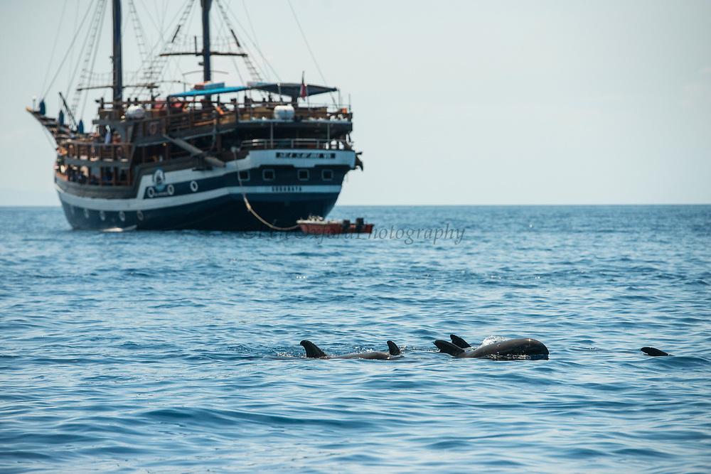 Melon-headed whale (Peponocephala electra)<br /> West Nusa Tenggara <br /> Lesser Sunda Islands<br /> Indonesia