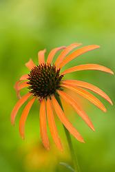 Echinacea 'Art's Pride'