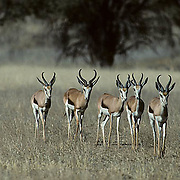 Springbok, (Antidorcas marsupialis) Small group of springbok catiously making way to waterhole. Kalahari Desert. Africa.