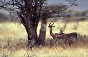Haze from hot earth rises around Gerenuk in Samburu National Game Reserve, Kenya