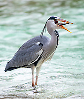 A heron stealing the  Humboldt Penguins  fish at the ZSL London Zoo Annual Stocktake in London, England. Thursday 2nd January 2020