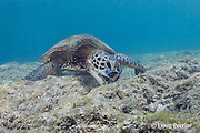 green sea turtle, Chelonia mydas ( Threatened Species ), feeding by scraping algae off shallow reef flat, Puako, Kona, Hawaii ( Central Pacific Ocean )