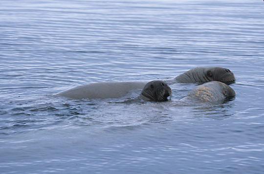 Walrus, (Odobenus rosmarus) Mother and baby in waters off Baffin Island. Canada.