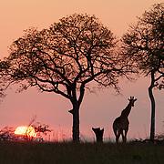 Southern giraffe in the setting sun. Mala Mala Game Reserve, South Africa.