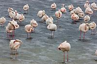 Greater Flamingos (Phoenicopterus roseus), in shallow lagoon near breeding colony, Camargue, France