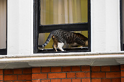 © Licensed to London News Pictures. 01/08/2018. LONDON, UK. Julian Assange's cat returns into the Equadorean Embassy in Knightsbridge from an outdoor windowsill.  The UK and Ecuador are holding ongoing talks over the fate of Wikileaks founder Julian, who has been in exile in the Ecuadorean Embassy since 2012.  He faces being arrested by UK police if he leaves the embassy for breaching bail conditions.  Photo credit: Stephen Chung/LNP