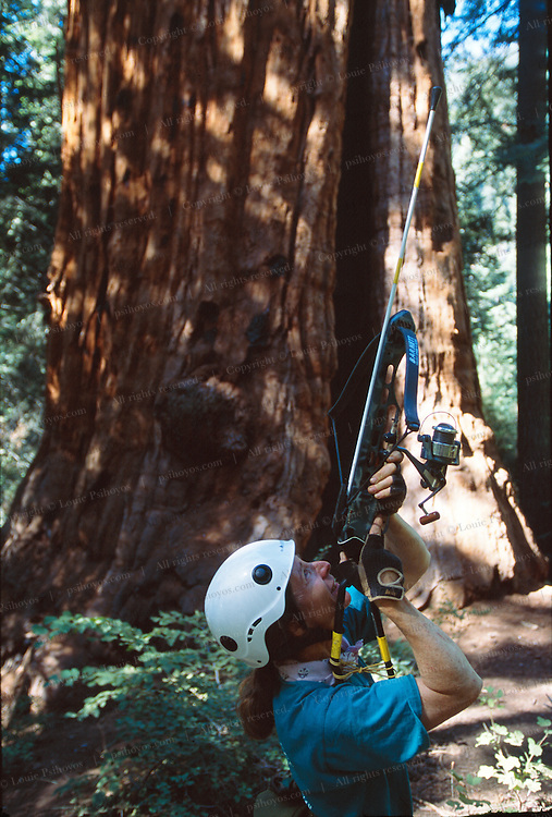 Genevieve Summers Fires a Pilot Line into the Stagg Tree, the sixth largest tree in the world.