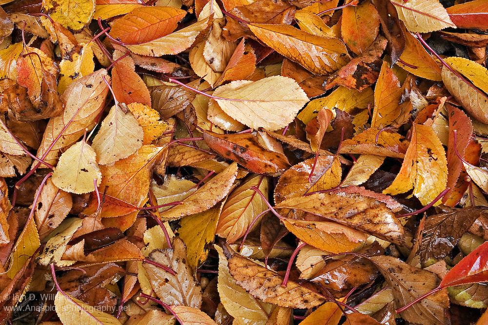 Fallen Leaves, Tasmania
