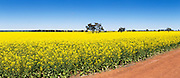 Flowering canola crop in rural farm paddock under blue sky near Lockhart, country New South Wales, Australia. <br /> <br /> Editions:- Open Edition Print / Stock Image